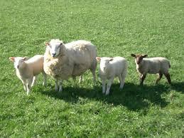 http://www.google.co.uk/images?q=tbn:QRbfEuil2WGuwM::www.animalspapper.com/images/wallpapers/animals/sheep/sheep_1.jpg&h=94&w=125&usg=___5Ni1tHKn_K5gQPHdJ6REGP9Fhs=