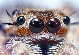 http://www.google.co.uk/images?q=tbn:gRyXohriBeQIuM::upload.wikimedia.org/wikipedia/commons/5/5d/Jumping_Spider_Eyes.jpg